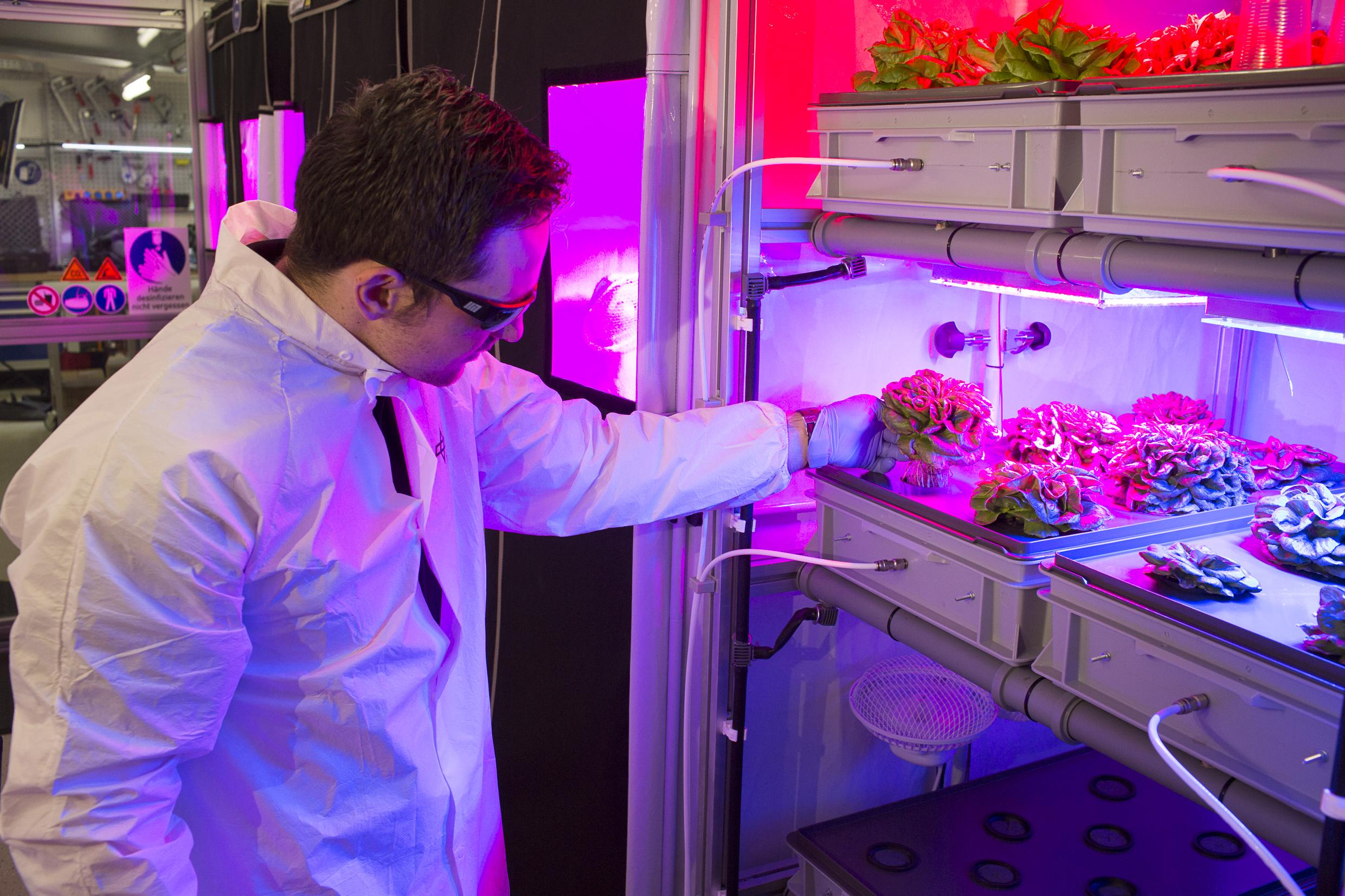 Matt inspecting lettuce