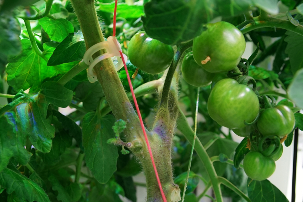 tomatoes, Credit: DLR