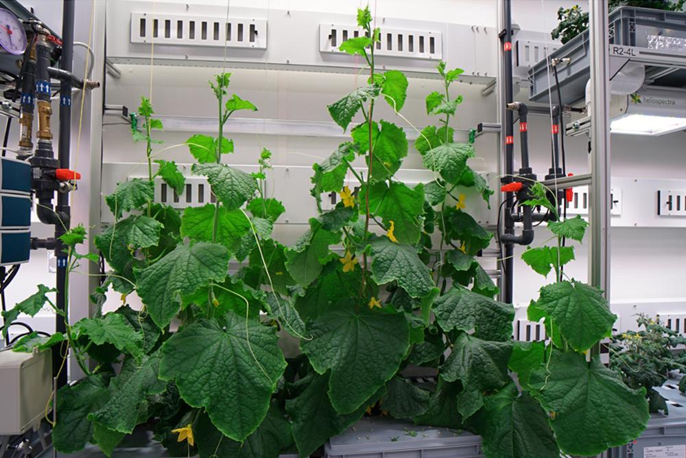 Cucumbers, Credit: DLR