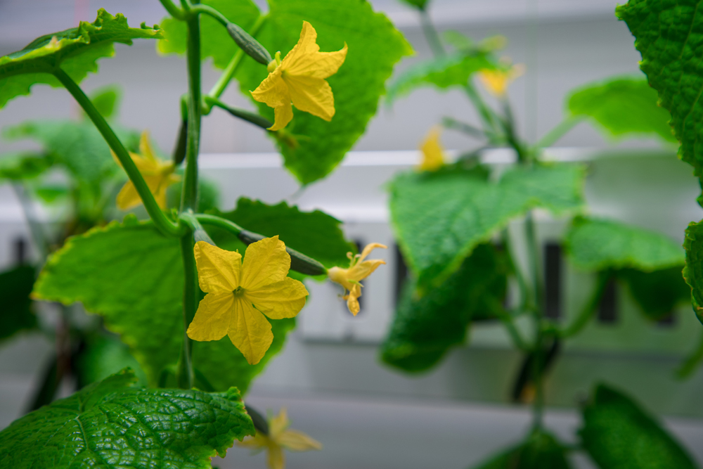 Cucumber flowers, Credit: Hanno Müller