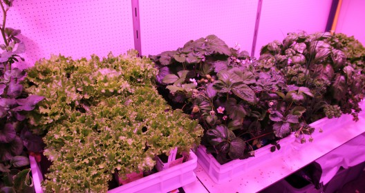 More trays with lettuce plants