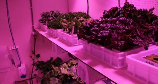 Trays with lettuce plants