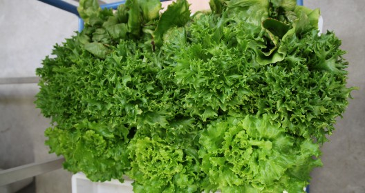 Tray with mixed green lettuce plants