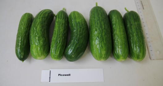 Cucumber harvest from one plant