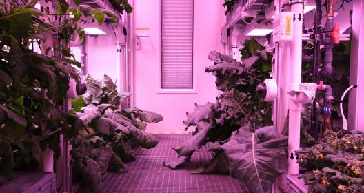 Kohlrabi and broccoli plants, Credit DLR/NASA/Bunchek